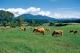 ジャージー牛の放牧終了時期について