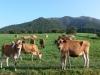 ジャージー牛の放牧開始時期について