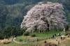 真庭桜めぐりタクシー 醍醐桜と城下町
