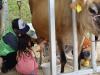 ジャージー牛の搾乳体験!